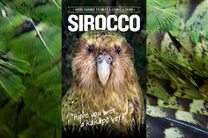 A chance to see a Kakapo, Sirocco is visiting Zealandia. There are only 124 Kakapo in the world. With intensive care numbers have increased from around 60. Keep it up DOC.