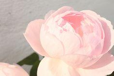 lyserød bonderose, min yndlingsblomst