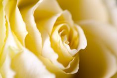Close-up of a yellow rose  #Photooftheday #Image