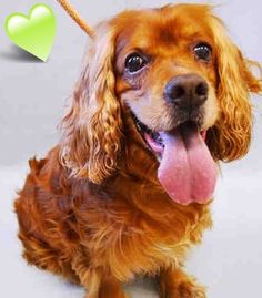 SAFE❤️❤️ 6/30/16 BY ABANDONED ANGELS COCKER SPANIEL RESCUE❤️ THANK YOU❤️ SUPER URGENT Manhattan Center ROCKY – A1078831 MALE, RED, COCKER SPAN, 12 yrs OWNER SUR – EVALUATE, NO HOLD Reason NEW BABY Intake condition GERIATRIC Intake Date 06/25/2016 http://nycdogs.urgentpodr.org/2016/06/rocky-a1078831/