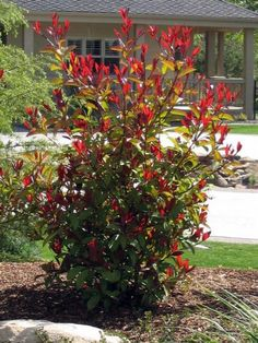 to Prune Red Tip Photinia Red Tip Photinia, Photinia Fraseri Red Robin, Photinia Red Robin, Landscaping With Roses, Backyard Landscaping, Red Robin Tree, Red Robin Hedge, Trees For Front Yard, Front Yards