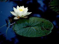 Detail of white lotus on the water. Our photographs are FREE and you can use them for web sites, mobile apps, image Placeholders, all private or commercial works etc. If you have any questions, write to info@freephotodb.com.
