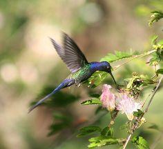 Beija-flor Tesoura (Eupetomena macroura) - Swallow-tailed Hummingbird 8 479 - 10 by Flávio Cruvinel Brandão, via Flickr