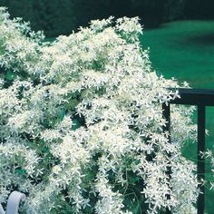 Never thought about potting it.....great idea for up on the deck. Sweet Autumn Clematis 5x5 potted plant