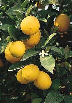 I want a small Meyer lemon tree