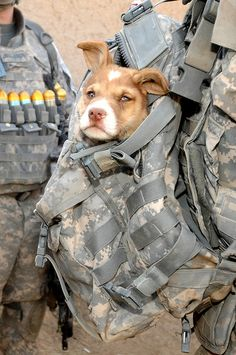 Cookie, the unofficial mascot of 1st Battalion, 17th Infantry Regiment..  Keep them safe Cookie