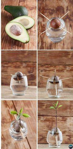 Grow Avocado Tree From Seeds Instructions