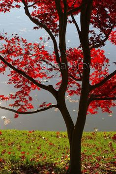 Nature Photography Tree Photo Red Japanese by SilverBirdBoutique, $25.00