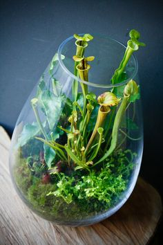 A Fascinating Carnivorous Terrarium Carnivorous terrarium small enough for a desktop or windowsill. Tropical pitcher plants have a high indoor light requirement. :Carnivorous terrarium small enough for a desktop or windowsill. Tropical pitcher plants have Terrarium Cactus, Fairy Terrarium, Terrarium Containers, Small Terrarium, Terrarium Wedding, Glass Terrarium, Venus Fly Trap Terrarium, Container Water Gardens, Container Gardening