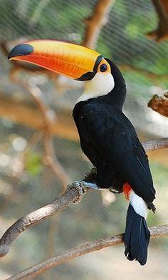 Autorizado pelo Ibama, o viveiro BirdLand do Hot Park tem 2 mil m² e conta com 72 espécies; entre as mais belas está o tucano. Em Caldas Novas, Goiás, Brasil.  Fotografia: Divulgação.