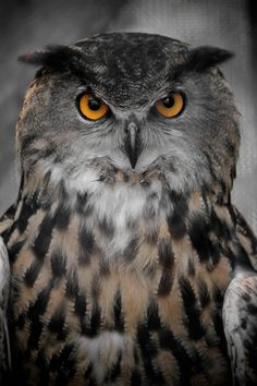 Eagle Owl - title Owl II - by Heatherae