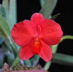Sophronitis coccinea 'Kaliya' AMAOS - Flickr - Photo Sharing!