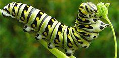 Caterpillar of Black Swallowtail Butterfly, Papilio polyxenes/ Parsleyworm/ Celeryworm