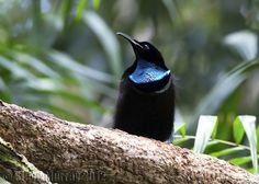 Magnificent Riflebird (Ptiloris magnificus) by Steve Murray