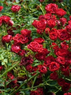 """Red Cascade Climbing Rose - a fast-growing, disease- and drought-resistant climber that produces long-lasting, deep red blooms about 1"""" in size.  Blooms last from late spring through late fall.  Good on a trellis or as ground cover."""