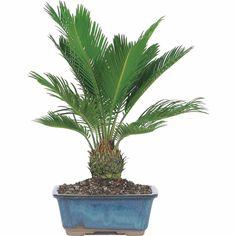 Indoor Palm Bonsai Tree Real Live Sago Plant Easy Hardy Exotic Cycas Revoluta #IndoorPalmBonsaiTree