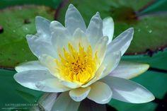 Büyük beyaz bir nilüfer çiçeği