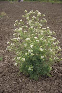 PLANTA TÓXICA Conium maculatum, cicuta (Hemlock TOXIC PLANT)