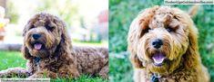 Ears Goldendoodle Lamp Clip: 3/4″ Body Blended Into Longer Legs (Ears Shorter On Left) Goldendoodle Haircuts, Goldendoodle Grooming, Dog Haircuts, Maltipoo, Goldendoodles, Poodle Cuts, Puppy Cut, Haircut Pictures, Doodle Dog