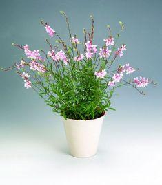 perenn rabatt Sommarljus, Gaura lindheimeri - Br h - Planting Flowers, Planter Pots, Miniatures, Vase, Garden, Barbie, Sun, Flower Plants, Garten