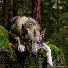 5 LIFE lessons: my journey with a wolfie Life Lessons, Mindset, Journey, Animals, Attitude, Animales, Life Lesson Quotes, Animaux, The Journey