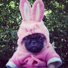 Hubble the Swedish Pug Bunny! Please follow @hubbethepug ! #pug #pugs #pugsofinstagram