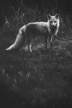 i dont even like animals.. but all of my posts have been animals lately... hmmm im starting to love foxes. (s)he is beautiful