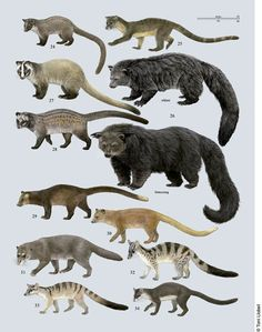 Civets, etc. More comparisons through link!