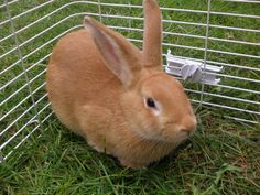 Palomino Rabbits-commercial meat rabbit good for homestead-8-11 lbs. Good temper.