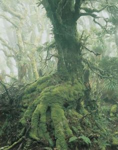 "The Wilderness Gallery - Photograph by Peter Dombrovskis | ""Myrtle Tree in Rainforest at Mount Anne, Southwest Tasmania"" from exhibition in Tasmania, Australia 