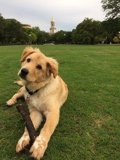 8b743a14c29 We spy a Baylor Bear pup!! #SicEm Fluffy Dogs, Fluffy Animals,
