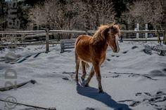 Newfoundland Pony Mister Scronchions