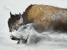 Beautiful Creatures, Animals Beautiful, Buffalo Painting, Buffalo Animal, African Buffalo, American Bison, American Indians, Native American, Power Animal
