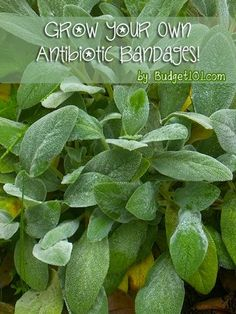 Grow Your Own Antibacterial Bandages! Here's a fantastic plant that you can grow around your home (as well as in the windowsill inside!) that is edible and works wonderfully as an antibacterial bandage. . .