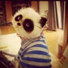 i. want. a. panda. cat. !!!!!