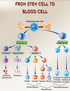 ☤ MD ☞☆☆☆ Red blood cell life | The stages by which the various blood cells form in the red marrow. Lignées cellulaires sanguines #hematology #biology