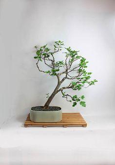 "Mulberry Bonsai tree ""Summer'16 Fruiting Collection"" by Live Bonsai Tree"" by LiveBonsaiTree on Etsy"