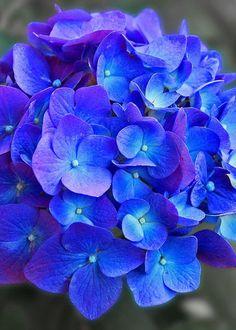 Touch Of Beauty Greeting Card for Sale by Brenda Spittle Hortensia Hydrangea, Hydrangea Garden, Hydrangea Flower, Hydrangea Painting, Hydrangea Colors, Amazing Flowers, Flowers In Hair, Beautiful Flowers, Purple Flowers