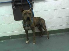 JACK (A1646417) I am a male brown brindle Terrier.  The shelter staff think I am about 1 year old.  I was found as a stray and I may be available for adoption on 09/26/2014. — hier: Miami Dade County Animal Services. https://www.facebook.com/urgentdogsofmiami/photos/pb.191859757515102.-2207520000.1411342786./843515585682846/?type=3&theater