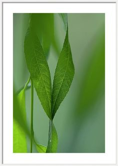 Jenny Rainbow Fine Art Photography Framed Print featuring the photograph Togetherness. Green Willow Leaves by Jenny Rainbow Art Prints For Home, Home Art, Fine Art Prints, Framing Photography, Fine Art Photography, Framed Artwork, Framed Prints, Willow Leaf, Metal Fish
