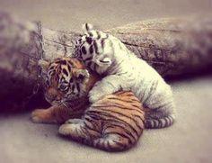 tiger cub cuddle  baby animals   Tumblr