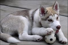 How to stop your husky puppy from toileting inside.