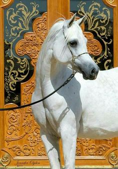 Arabian, elegantly posed.