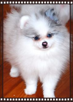 EXOTIC COLOR POMERANIAN PUPPIES FOR SALE ILLINOIS