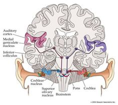 Lab The Synthetic Psychology of Sound Localization Brain Anatomy And Function, Ear Anatomy, Gross Anatomy, Nervous System Anatomy, Medical Anatomy, Human Anatomy And Physiology, Brain Health, Biology Teacher, Psychology