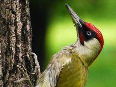 "Green Woodpecker ( or ""laughing bird"") - of Britain Woodland Plants, Woodland Art, N Animals, Forest Animals, Green Woodpecker, Woody Woodpecker, British Garden, British Wildlife, Wildlife Nature"
