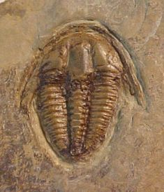 Name: Achlysopsis sp.  Order Ptychopariida, Suborder Ptychopariina, Superfamily Ptychparioidea, Family Ptychopariidae  Locality:  Spence Gulch, Liberty Idaho (type locality)   Stratigraphy: Langston Formation, Spence Shale Member, Middle Cambrian