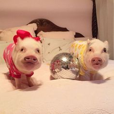 Priscilla and Poppleton (@prissy_pig) • Instagram photos and videos
