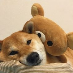 shiba x rilakkuma (cr. Cut Animals, Animals And Pets, Baby Animals, Silly Dogs, Cute Dogs, Cute Babies, Cute Funny Animals, Funny Cute, Corgi