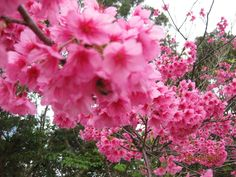 Okinawa cherry blossoms. <3